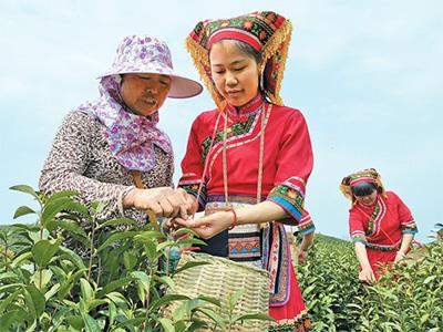 """湖南江華縣推行""""黨建+產業""""幫帶扶貧模式,發展茶葉產業,帶動貧困群眾在家門口實現就業增收。"""