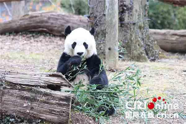 """熊猫""""贝贝""""在国家动物园熊猫馆外的庭院里享用竹子。(摄影 刘坤)"""