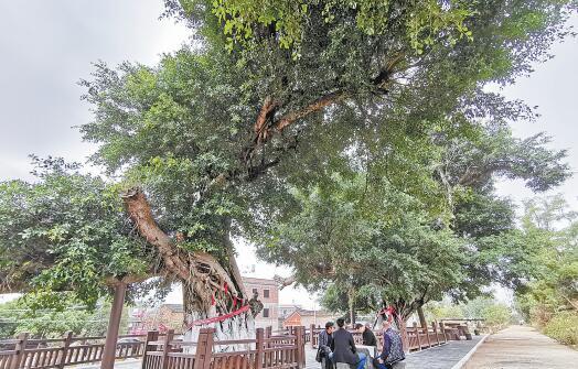 同安一处古树小公园内,村民在古树下闲聊。