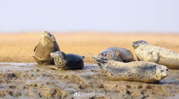 斑海豹是世界性海洋物种,也是唯一能在我国海域繁殖的鳍足类动物,属于