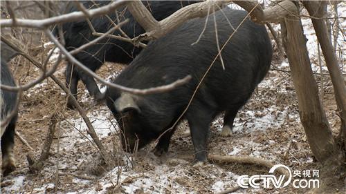 他在荒山上养3000头藏香猪,年创造财富1000多万元!