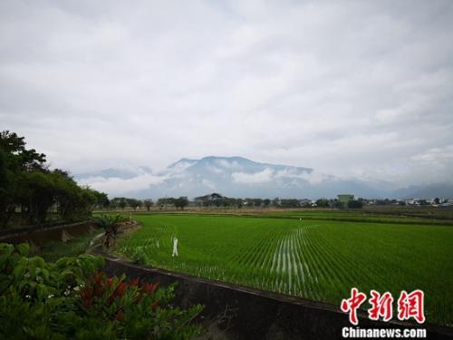 """池上地处台湾""""中央山脉""""与海岸山脉之间,形成远山云瀑下千亩稻田的独特景观。中新社记者 孔任远 摄"""