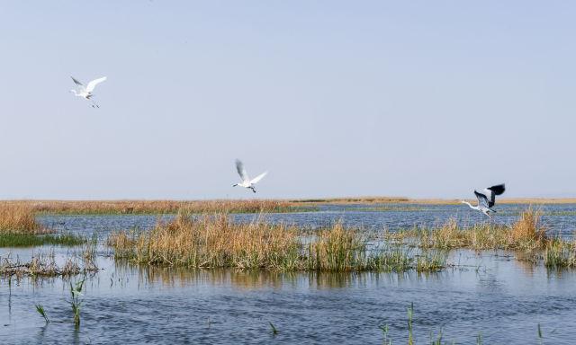 这是在内蒙古乌梁素海拍摄的候鸟(2018年5月12日摄)。