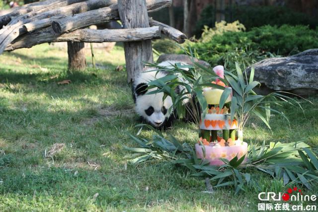 """""""圆梦""""准备品尝动物园为它准备的周岁""""生日蛋糕"""""""