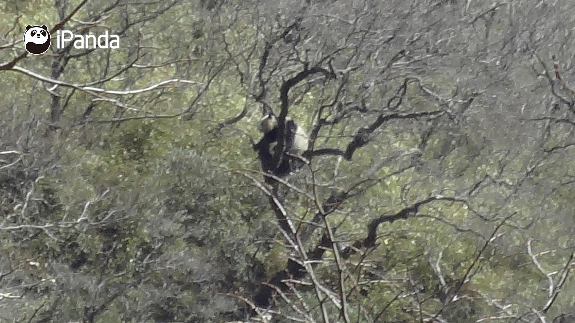 野生大熊猫在树上