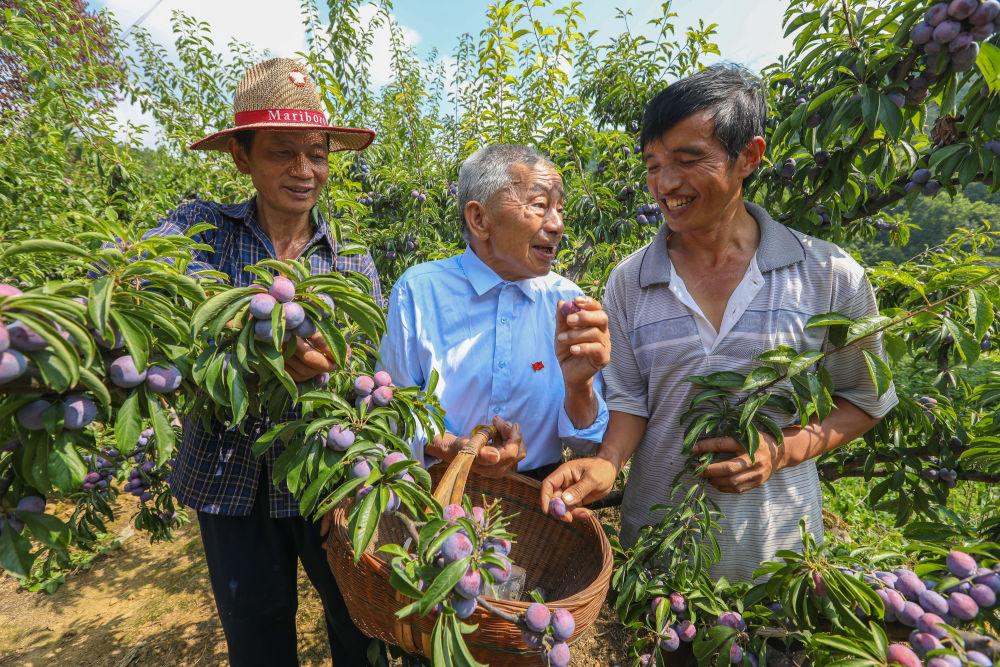 黄大发(中)和果农们研究水果种植技术(2018年8月12日摄)。 新华社记者 刘续 摄