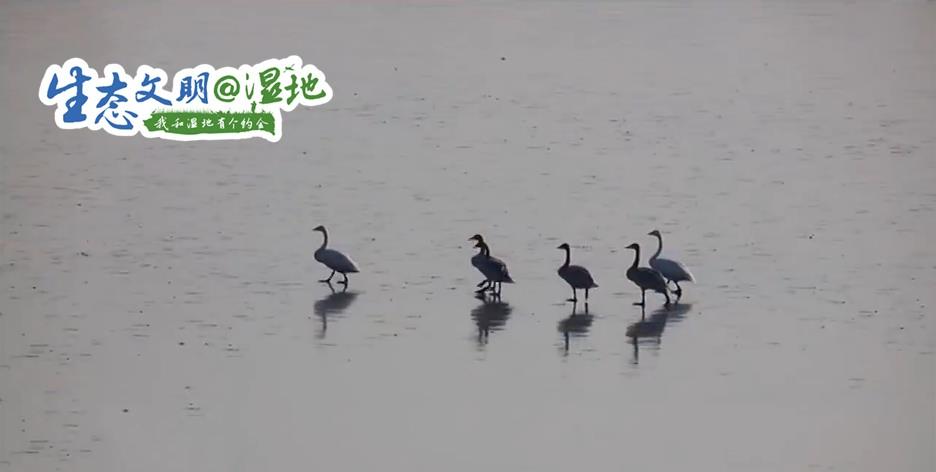 """【生态文明@湿地】又添新成员!甘肃红崖山水库已成国内大天鹅"""""""