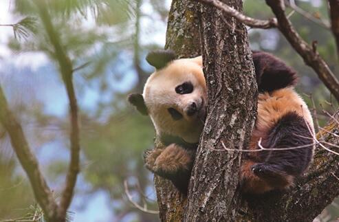 大熊猫-陕西佛坪国家级自然掩护区(摄影 雍严格)