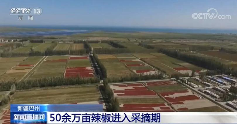 新疆巴州:50余万亩辣椒进入采摘期