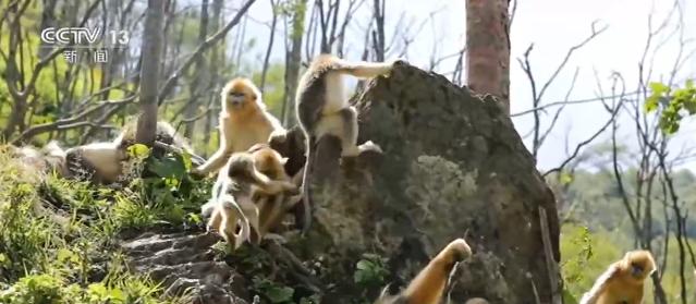生活在神农架林区的川金丝猴