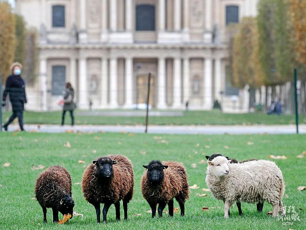 巴黎市政厅利用绵羊吃草来代替草坪收割机,这成为一种有趣的环保方式。