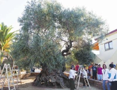希腊二千五百年古橄榄树喜迎金秋