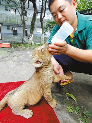 可第一次当妈妈的非洲狮遭遇了难产