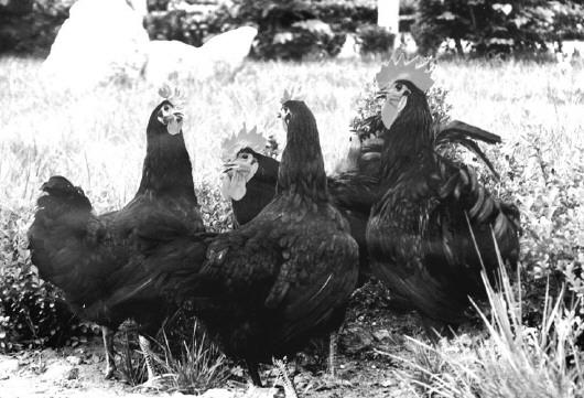 寿光鸡原产于寿光市稻田镇一带