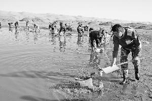 捕捞丰年虾卵