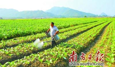 连州镇共和村 菜心长势喜人待客来摘图片