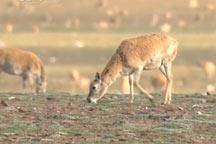 Witness: How does Tibetan antelope survives natural predators