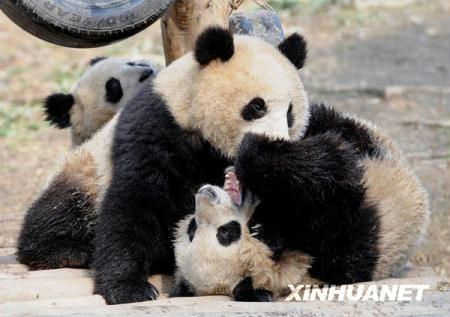 Ten giant pandas are preparing to embark on an important mission. The cuddly cubs from Sichuan Province will fly to Shanghai, to help promote the 2010 World Expo.
