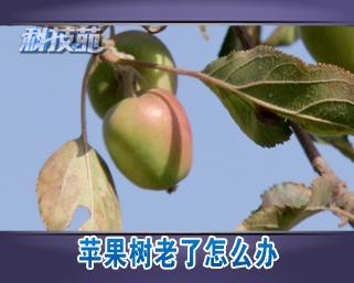 [科技苑]苹果树老了怎么办(20121211)_三农_中国网络