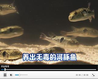 养出无毒的河豚鱼