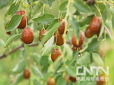 记者:若羌的枣树这么矮,是不是这儿的枣树品种特殊?