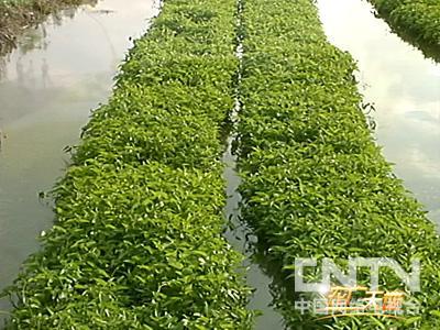 本期节目介绍叶用芥菜的栽培与加工技术和如何在水上培育竹叶图片