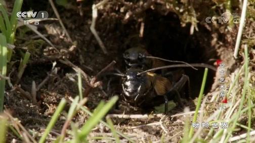 [动物世界]雌性蟋蟀给雄性留下气味记号