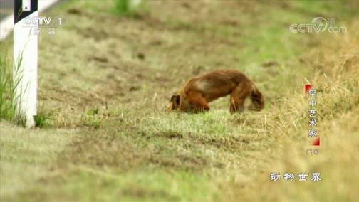 [动物世界]狐狸找回藏好的猎物开开心心回家了