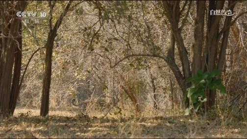 [自然传奇]花豹虽已年老瘦削 但依旧是完美的猎食者