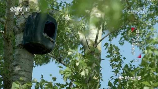 [动物世界]一连数周 红隼每天最多有20次激情行为