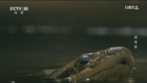 [自然传奇]最长的蛇有多长?19世纪曾留下20米巨蛇的记录