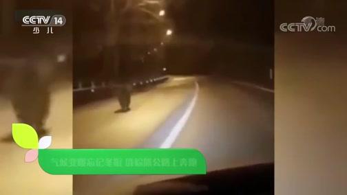 [新闻袋袋裤]气候变暖忘记冬眠 俄棕熊公路上奔跑
