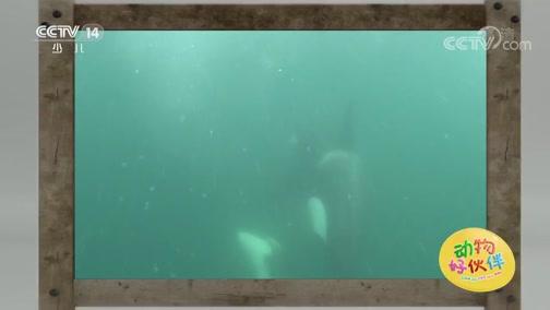 [动物好伙伴]探险号:虎鲸
