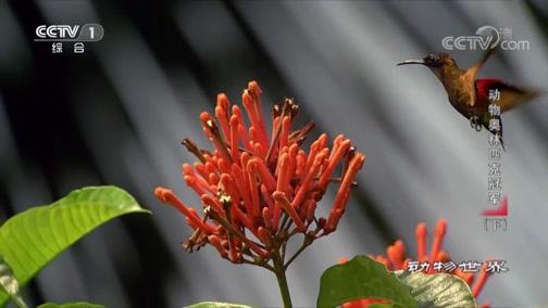 [动物世界]蜂鸟身体虽小 能量消耗却极快 每日消耗的花蜜是体重的两倍