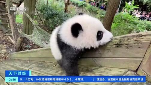 [天下财经]大熊猫宝宝半岁 开始学习独立生活