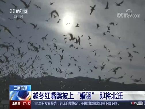 """[新闻直播间]云南昆明 越冬红嘴鸥披上""""婚羽""""即将北迁"""