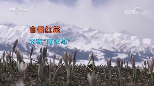 """[新闻袋袋裤]新疆:天山脚下""""顶冰花"""" 亦冰亦雪亦成春"""
