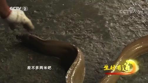"""[生财有道]近2米长巨型""""鳝鱼王""""海黄鳝"""