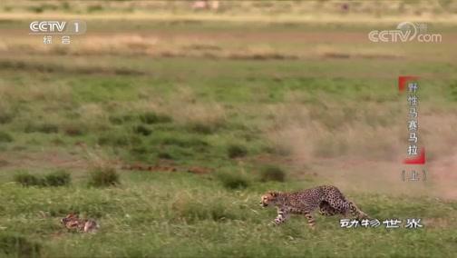[动物世界]身手矫健的猎豹捕猎成功率高达50%