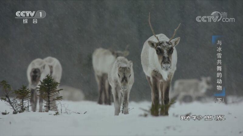 [动物世界]积雪让驯鹿花费大量精力来觅食