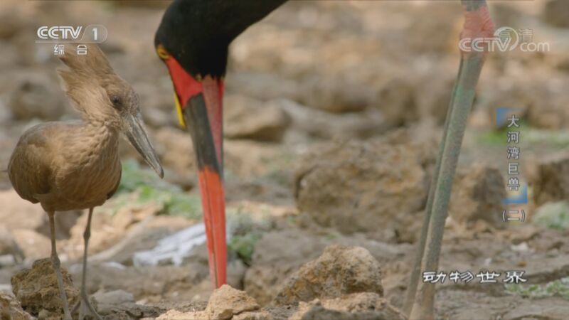[动物世界]鞍嘴鹳鸟喙长达30厘米 可轻松探索泥地裂缝