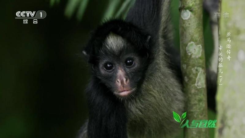 《人与自然》 20210711 亚马逊传奇——幸运的孤儿(下)