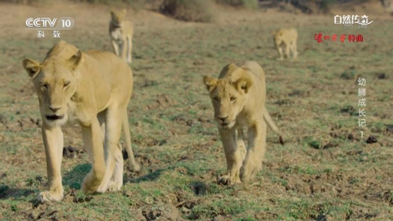 《自然传奇》 20210715 幼狮成长记 1
