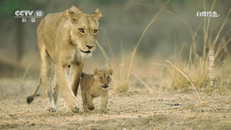 《自然传奇》 20210716 幼狮成长记 2