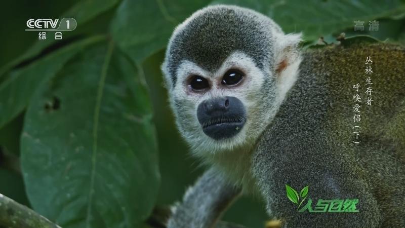 《人与自然》 20210905 丛林生存者——呼唤爱侣(下)
