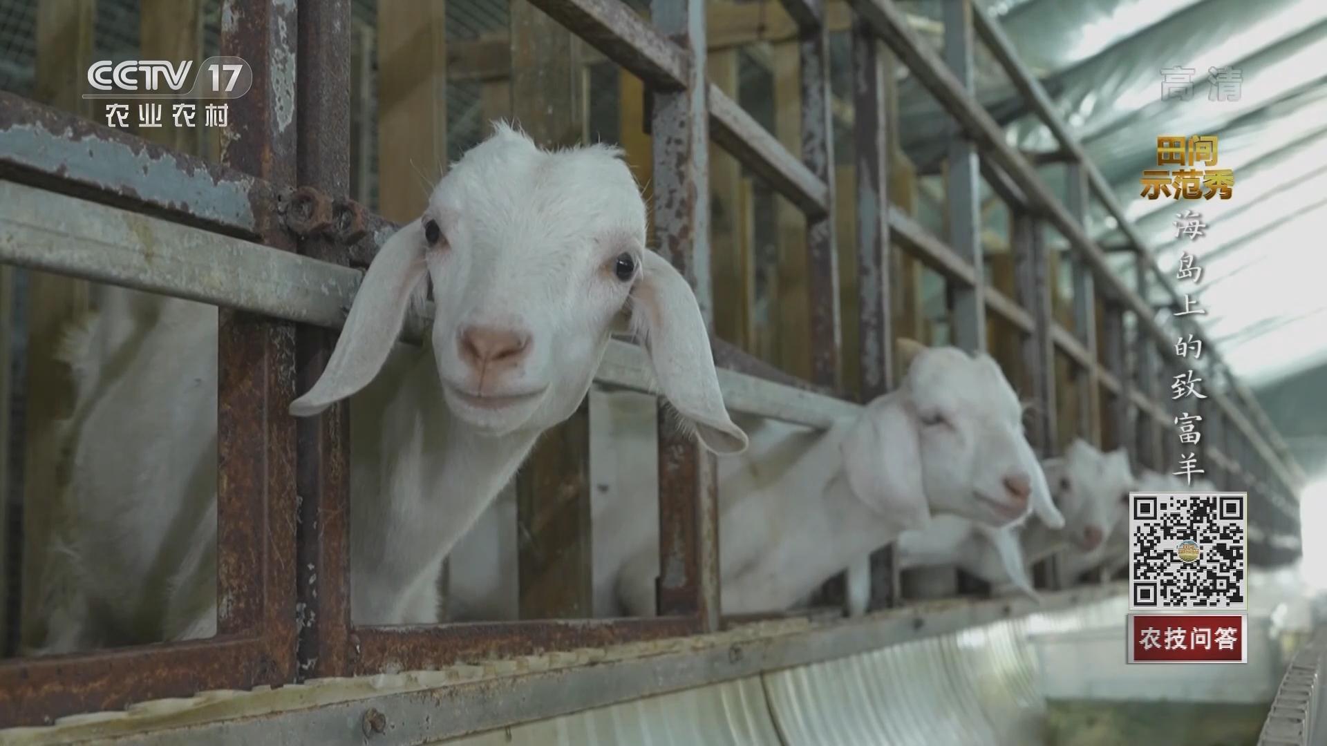 《田间示范秀》 20211012 海岛上的致富羊