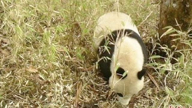 救助野生大熊猫回归自然