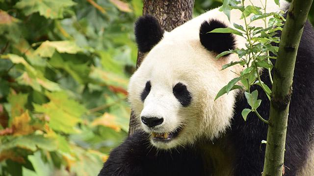 搭建合作平台 33只大熊猫旅居海外
