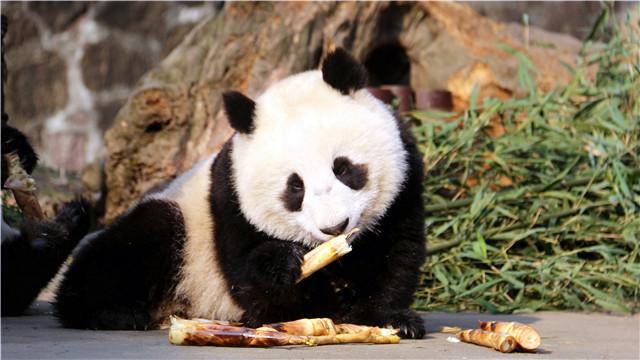 """古代大熊猫首次通过基因测序""""验明正身"""""""