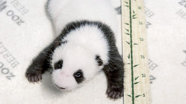 德国柏林动物园公布大熊猫双胞胎最新画面